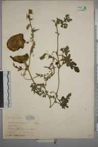 Citrullus  herbarium specimen from Dagenham, VC18 South Essex in 1933 by Ronald Melville.