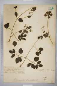 Clematis viticella herbarium specimen from Esher Paper Mills, VC17 Surrey in 1888 by Mr William Hadden Beeby.