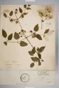 Clematis vitalba herbarium specimen from Coulsdon, VC17 Surrey in 1900.