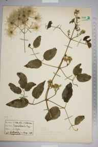 Clematis vitalba herbarium specimen from Watcombe, VC3 South Devon in 1935.