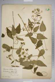 Clematis vitalba herbarium specimen from Abbots Leigh, VC6 North Somerset in 1913 by Mr James Walter White.