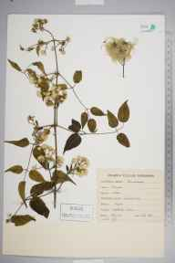 Clematis vitalba herbarium specimen from Hogs Back, VC17 Surrey in 1893.