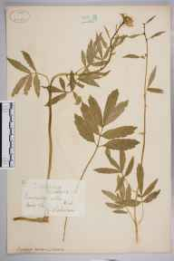 Cardamine bulbifera herbarium specimen from Tunbridge Wells, VC16 West Kent in 1882 by Mr George Nicholson.