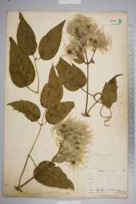 Clematis vitalba herbarium specimen from Burnham Beeches, VC24 Buckinghamshire in 1898 by Mr Allan Octavian Hume.