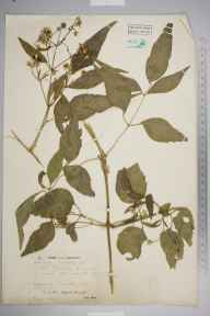 Clematis vitalba herbarium specimen from Thorley, VC10 Isle of Wight in 1947 by Dr Richard Charles L'Estrange Burges.