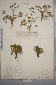Trinia glauca herbarium specimen from Purn Hill, VC6 North Somerset in 1929 by Mr Patrick Martin Hall.