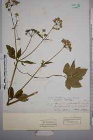 Apium graveolens herbarium specimen from Midhurst, VC13 West Sussex in 1900.