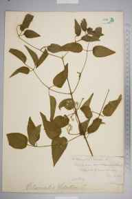 Clematis vitalba herbarium specimen from Thursley, VC17 Surrey in 1883 by Mr William Hadden Beeby.