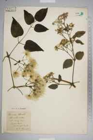 Clematis vitalba herbarium specimen from Toddington, VC30 Bedfordshire in 1895 by S A Chambers.
