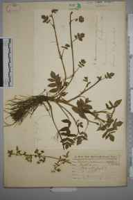 Apium repens herbarium specimen from Hartlepool, VC66 County Durham in 1872 by Robert Morton Middleton.