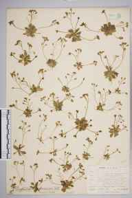 Erophila verna herbarium specimen from Great Orme's Head, VC49 Caernarvonshire in 1905 by Mr Allan Octavian Hume.