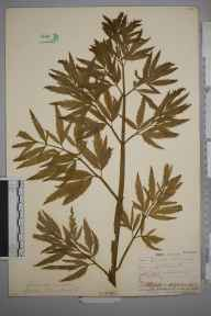 Cicuta virosa herbarium specimen from Bucklow Hill, VC58 Cheshire in 1865 by Dr John Bland Wood.
