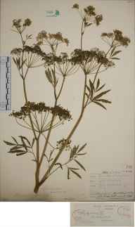 Cicuta virosa herbarium specimen from Bucklow Hill, VC58 Cheshire in 1865.