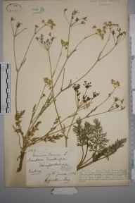 Carum carvi herbarium specimen from Woolhope, VC36 Herefordshire in 1886 by Rev. Augustin Ley.