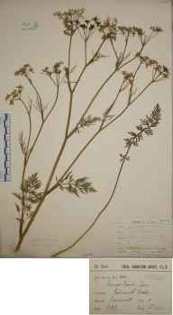 Carum carvi herbarium specimen from Falmouth Docks, VC1 West Cornwall in 1904 by Mr Frederick Hamilton Davey.