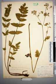 Berula erecta herbarium specimen from Falmouth, VC1 West Cornwall in 1900 by Mr Frederick Hamilton Davey.