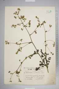 Thalictrum minus herbarium specimen from Kennack Cove, VC1 West Cornwall in 1930 by Richard Barker Ullman.