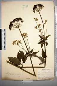 Aegopodium podagraria herbarium specimen from West Wickham, VC16 West Kent in 1902 by William Henry Griffin.