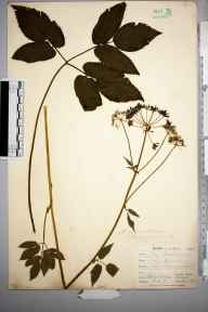 Aegopodium podagraria herbarium specimen from Mabe, near Penryn, VC1 West Cornwall in 1900 by Mr Frederick Hamilton Davey.