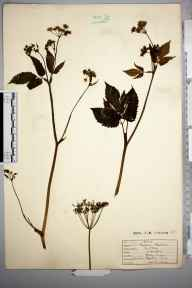 Aegopodium podagraria herbarium specimen from Horsley, VC17 Surrey in 1930.