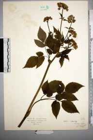 Aegopodium podagraria herbarium specimen from Bushey, VC20 Hertfordshire in 1925 by Mr Isaac A Helsby.