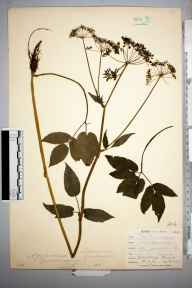 Aegopodium podagraria herbarium specimen from Mabe near Penryn, VC1 West Cornwall in 1900 by Mr Frederick Hamilton Davey.