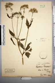 Aegopodium podagraria herbarium specimen from Reigate, VC17 Surrey in 1898 by Stafford Edwin Chandler.