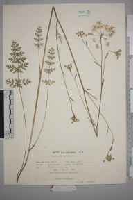 Pimpinella saxifraga herbarium specimen from Fairlight, VC14 East Sussex in 1960 by Peter Charles Holland.