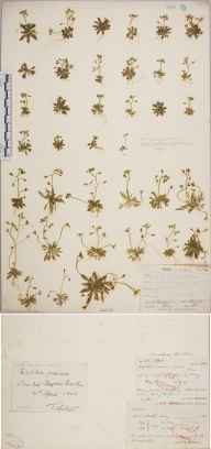 Erophila verna herbarium specimen from Milford, VC17 Surrey in 1894 by Rev. Edward Shearburn Marshall.