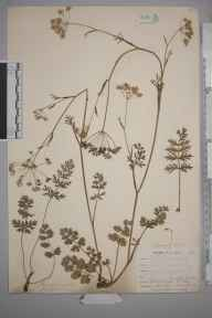 Pimpinella saxifraga herbarium specimen from East Looe, VC2 East Cornwall in 1900 by Mr Allan Octavian Hume.