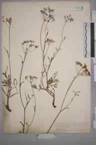 Pimpinella saxifraga herbarium specimen from Lewes, VC14 East Sussex in 1845 by Joseph Woods.