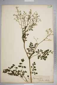 Thalictrum minus herbarium specimen from Gog Magog Hills, VC29 Cambridgeshire in 1851 by Rev. William Williamson Newbould.