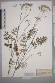 Pimpinella saxifraga herbarium specimen from Great Bookham Common, VC17 Surrey in 1953 by Peter Charles Hall.