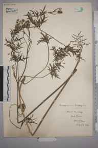 Pimpinella saxifraga herbarium specimen from Kirk Bride, VC71 Isle of Man in 1936.