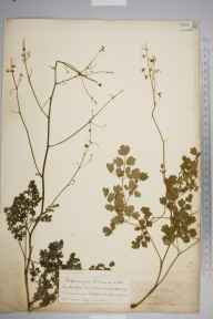 Thalictrum minus herbarium specimen from Cheddar, VC6 North Somerset in 1852 by Joseph Woods.