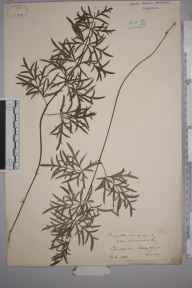 Pimpinella saxifraga herbarium specimen from Hedge Court, VC17 Surrey in 1888.
