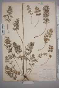 Pimpinella saxifraga herbarium specimen from West Looe, VC2 East Cornwall in 1900 by Mr Allan Octavian Hume.