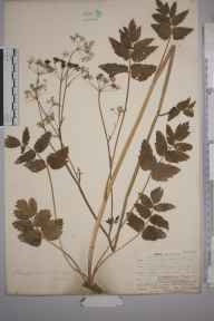 Pimpinella major herbarium specimen from Ightham, VC16 West Kent in 1905 by William Henry Griffin.