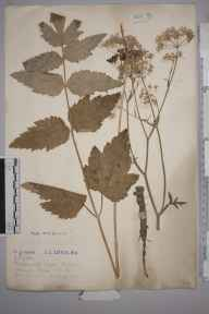 Pimpinella major herbarium specimen from Holwell, VC30 Bedfordshire in 1913 by Mr Joseph Edward Little.