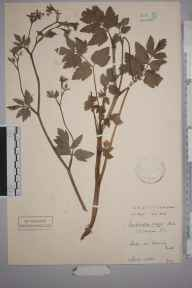 Pimpinella major herbarium specimen from Kemsing, VC16 West Kent in 1905 by Stafford Edwin Chandler.