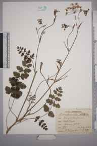 Pimpinella major herbarium specimen from Ashtead, VC17 Surrey in 1940 by Rev. Philip Henry Cooke.