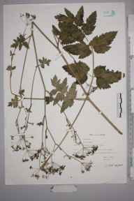Pimpinella major herbarium specimen from Saint Albans, VC20 Hertfordshire in 1990 by Peter Charles Holland.