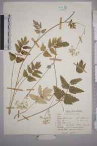 Pimpinella major herbarium specimen from Scales Wood, VC20 Hertfordshire in 1977 by Peter Charles Holland.