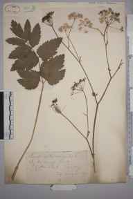 Pimpinella major herbarium specimen from Gatton Park, VC17 Surrey in 1872 by Mr William Hadden Beeby.