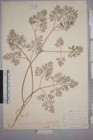 Conopodium majus herbarium specimen from Lostwithiel, VC2 East Cornwall in 1901 by Mr Allan Octavian Hume.