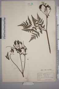 Myrrhis odorata herbarium specimen from Tulse Hill, VC17 Surrey in 1930.