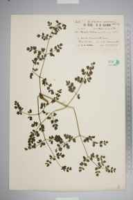 Thalictrum minus herbarium specimen from Kennack Cove, VC1 West Cornwall in 1920 by Richard Barker Ullman.