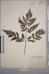 Myrrhis odorata herbarium specimen from Teesdale,Langdon Beck, VC66 County Durham in 1927 by Mr Job Edward Lousley.