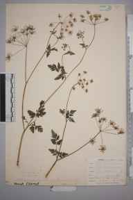 Chaerophyllum temulum herbarium specimen from East Looe, VC2 East Cornwall in 1900 by Mr Allan Octavian Hume.