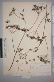 Chaerophyllum temulum herbarium specimen from West Looe, VC2 East Cornwall in 1900 by Mr Allan Octavian Hume.